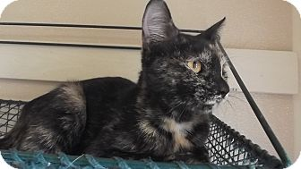 Domestic Shorthair Cat for adoption in Marshall, Texas - Penny