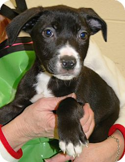 Pit Bull Terrier/German Shepherd Dog Mix Puppy for adoption in Spring Valley, New York - Oreo (Reduced Adoption Fee)