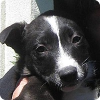 Adopt A Pet :: Baby Mackey - Oakley, CA