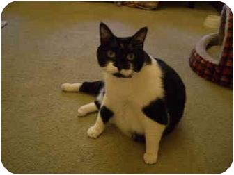 Domestic Shorthair Cat for adoption in Saanichton, British Columbia - Frieda
