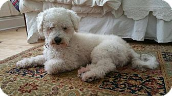 Miniature Poodle Mix Dog for adoption in West Allis, Wisconsin - Zippy
