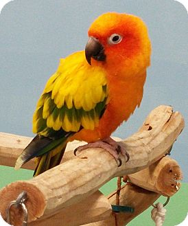 Conure for adoption in Lenexa, Kansas - Josie
