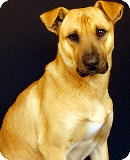 Shar Pei/Shepherd (Unknown Type) Mix Dog for adoption in Newland, North Carolina - Lance