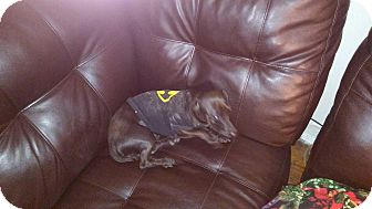 Chihuahua/Dachshund Mix Dog for adoption in Kemp, Texas - Jax