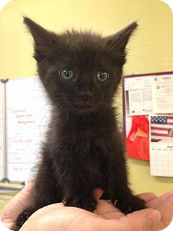 Domestic Shorthair Kitten for adoption in Newburgh, Indiana - Lacy
