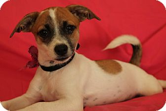 Jack Russell Terrier Mix Dog for adoption in Union City, Tennessee - Bambi