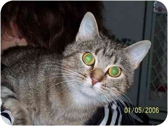 American Shorthair Cat for adoption in Alden, Iowa - Misty