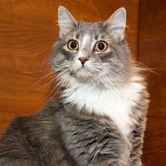Domestic Longhair Cat for adoption in Herndon, Virginia - Tisha (& Trixie)