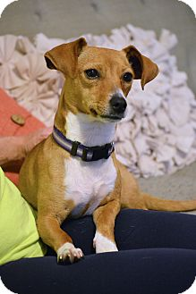 Dachshund/Chihuahua Mix Dog for adoption in Hagerstown, Maryland - Dora