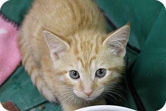 Domestic Shorthair Kitten for adoption in Medina, Ohio - Blaze