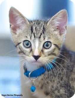 Domestic Shorthair Kitten for adoption in Nashville, Tennessee - Monte
