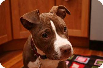 Pit Bull Terrier Puppy for adoption in Framingham, Massachusetts - Dora