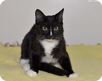 Domestic Shorthair Cat for adoption in Medina, Ohio - Comet