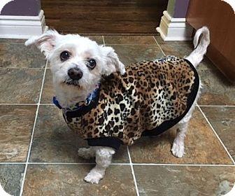 Maltese Dog for adoption in Mississauga, Ontario - Cooper