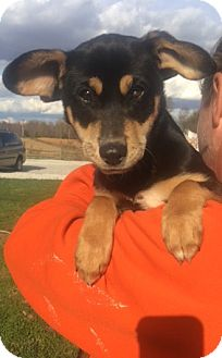 Shepherd (Unknown Type) Mix Puppy for adoption in Medora, Indiana - Carla