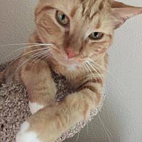 Domestic Shorthair Cat for adoption in Houston, Texas - Honey