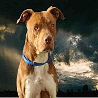 Adopt A Pet :: DENALI - Fairfield, CA