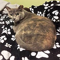 Domestic Shorthair Cat for adoption in Tampa, Florida - Mitzie