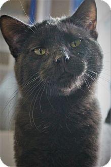 Domestic Shorthair Cat for adoption in Richand, New York - Kansas