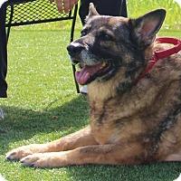 German Shepherd Dog Dog for adoption in Grass Valley, California - Amber