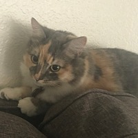 Calico Cat for adoption in Riverside, California - Autumn and Harley