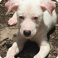 Adopt A Pet :: Daisy-ADOPTION PENDING - Boulder, CO