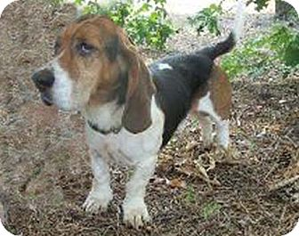 Basset Hound Dog for adoption in Charleston, South Carolina - Wilson