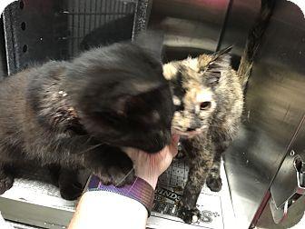 Adopt A Pet :: Georgia Kittens (1)  - Henderson, NC