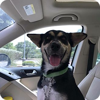 Siberian Husky/Doberman Pinscher Mix Dog for adoption in Sugar Land, Texas - Wimberly