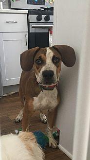 Labrador Retriever/Australian Shepherd Mix Puppy for adoption in Elgin, Illinois - BISCUIT