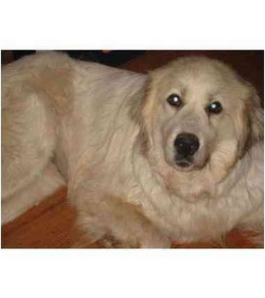 Great Pyrenees Dog for adoption in Kyle, Texas - Rose