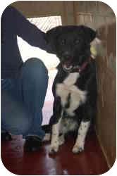 Labrador Retriever/Border Collie Mix Dog for adoption in Bel Air, Maryland - Smokey