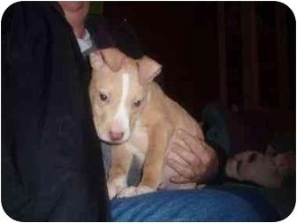 American Bulldog/American Pit Bull Terrier Mix Puppy for adoption in Watertown, South Dakota - Christmas