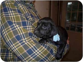 Weimaraner Puppy for adoption in Grand Haven, Michigan - Murphy