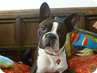 Boston Terrier Puppy for adoption in Van Nuys, California - Wilson