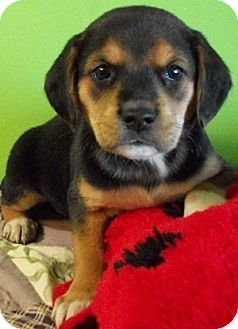 German Shepherd Dog/Beagle Mix Puppy for adoption in Struthers, Ohio - Harvick
