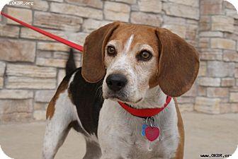Beagle Dog for adoption in Norman, Oklahoma - Joy