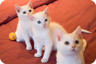 Domestic Shorthair Kitten for adoption in Chicago, Illinois - Alfalfa, Froggy and Buckwheat