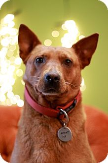 Australian Cattle Dog Mix Dog for adoption in Portland, Oregon - Red