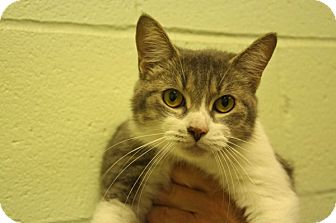 Domestic Shorthair Cat for adoption in Elyria, Ohio - Rainbow