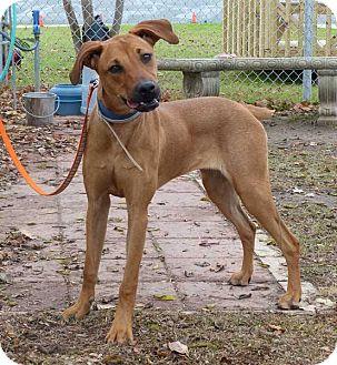 Doberman Pinscher/Boxer Mix Puppy for adoption in Fayetteville, North Carolina - Annie Girl