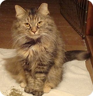 Maine Coon Cat for adoption in Rochester, Minnesota - Sassy
