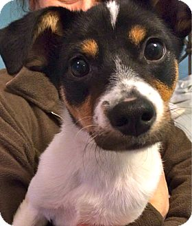Rat Terrier/Fox Terrier (Smooth) Mix Puppy for adoption in Media, Pennsylvania - TEMPEST