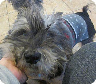 Miniature Schnauzer Dog for adoption in Oak Ridge, New Jersey - Frank