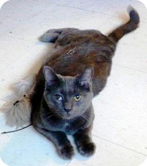 Russian Blue Cat for adoption in Burlington, Ontario - Porko