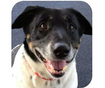 Australian Cattle Dog Mix Dog for adoption in Ithaca, New York - Snoopy