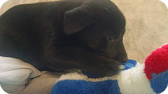 Husky/Labrador Retriever Mix Puppy for adoption in Forest Hill, Maryland - Babs