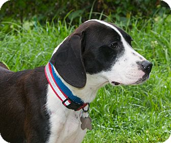 Hound (Unknown Type)/Border Collie Mix Dog for adoption in Elmwood Park, New Jersey - Holly