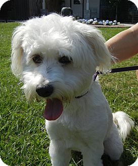 Poodle (Miniature)/Westie, West Highland White Terrier Mix Dog for adoption in Houston, Texas - Regan