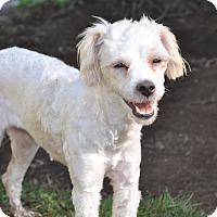 Adopt A Pet :: Buffy - Tumwater, WA